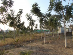 Delonix plantation at plot no.5-2
