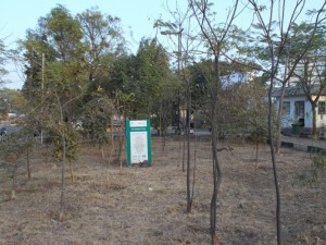 Putranjiva planltation at plot no. 1